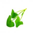 Buckler Sorrel Leaves