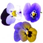 Mini Violetta