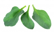 Sea Oyster Leaves