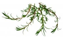 Sea Rosemary