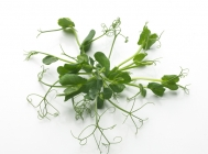 Snow Pea Tendrill