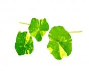 Alaskan nastrium leaves