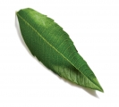Lemon Citroen Verbena