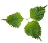 Leaves Shiso Green