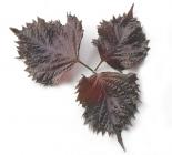 Leaves Shiso Purple
