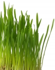 Tarwe Wheat Grass