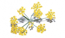 Dill Crown