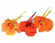 Capucine Blossom
