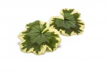 Pelar Leaves