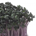 Red Cabbage Cress