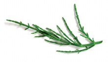 Salicornia/Samphire