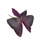 Butterfly Purple leaves